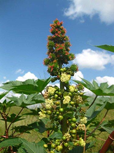 Asklepios-seeds® 1000 Samen Ricinus communis, Rizinus, Wunderbaum, Rizinusbaum
