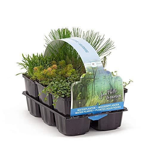 6x Plantes de bassin oxygénantes | Anagallis, Bacopa, Hippuris, Hydrocotyle, Myriophyllum, Scirpus | Mélange de plantes aquatiques | Hauteur livraison 20-30cm