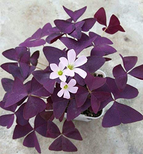 Lovely Potted Plant - Oxalis Triangularis Bulbs - Purple Shamrock Plants (12)