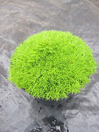 Scleranthus uniflorus - Neuseeländer Knäuel