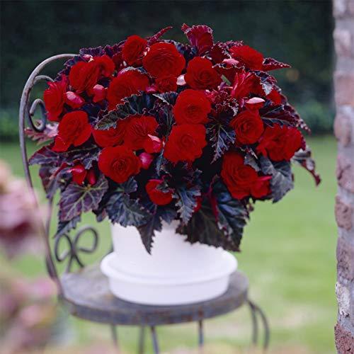 Van Zyverden 83002 Begonias Switzerland Set of 5 Bulbs, 5/6, Red