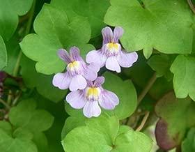ivy leaf toadflax plant