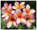 Professional Nursery Grade Plumeria Fertilizer 4 LB 6 Month Slow Release Frangipani Plant Food
