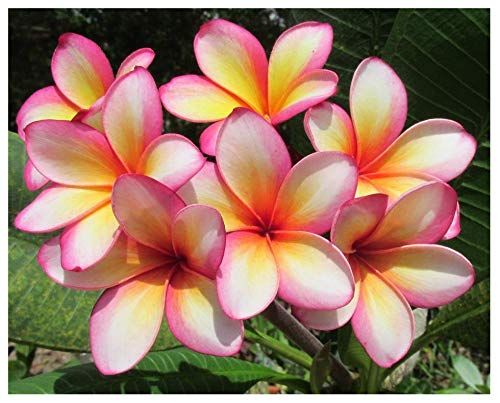 Plumeria/Frangipani Fertilizer Professional Nursery Grade 4 LB Six Month Slow Release Tropical Plant Food