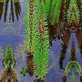Tannenwedel 4er-Set, Winterharte Klärpflanze - Hippuris Vulgaris - Inklusive Teichkorb, Teichpflanzen Lehm, Wasserpflanzen dünger und Bedeckung Kies