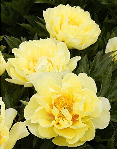 10pcs/sac de graines de pivoine, jaune, graines de fleurs de pivoine rose chinoise belles graines de bonsaï plantes en pot pour le jardin de la maison 5