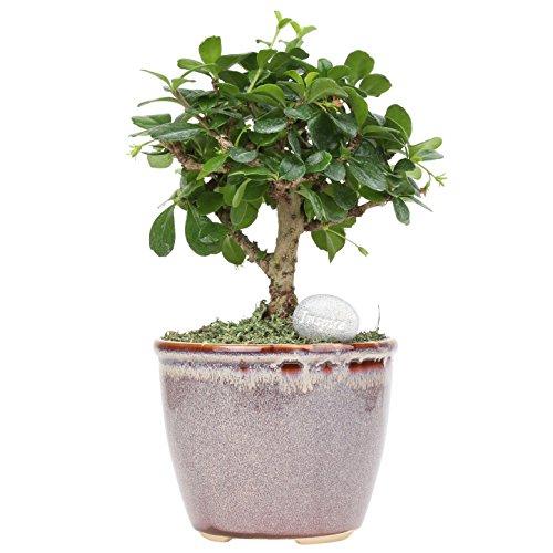 Costa Farms Indoor Tree with Inspirational Message Home Décor, Mini Bonsai, Mocha Ceramic Planter