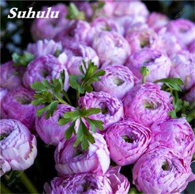 Nouveau! 10 Pcs Pivoine Graines Paeonia suffruticosa Andrews Mix Couleurs Indoor Bonsai fleur pour jardin des plantes Pivoine Graines de fleurs 2