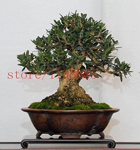 10PCS Bonsai Olive Bonsai Baum (Olea europaea) Samen, Bonsai Mini Olivenbaum, Olive Bonsai Frische exotische Baumsamen