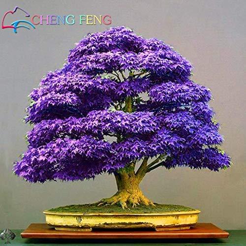 Portal Cool Lila Ahorn Bonsai Baum Samen Japanische Ahorn Pflanze Mini Baum Lila Ahorn Samen