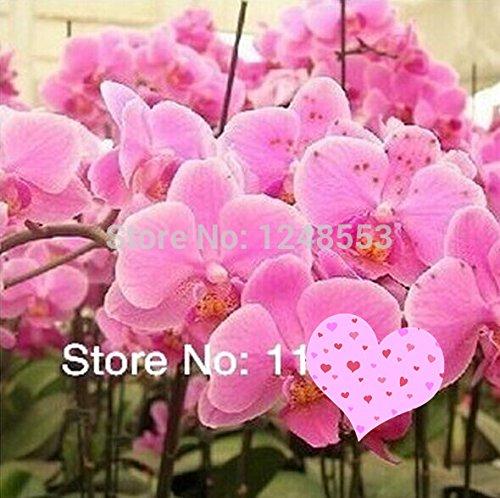 100pcs phalaenopsis orchidée graines + CADEAUX SECRET, mixtes 24 couleurs types, graines de fleurs, plantes bonsaï fleurs bricolage,