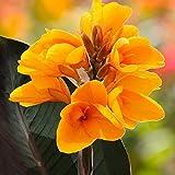 Blumenrohr Rhizom,Seltene Pflanzen,Blumenzwiebeln,Canna bedeutet harten Willen,Sie können Ihren Hof dekorieren,Gartenblumen,Indisches Blumenrohr-2 Zwiebeln