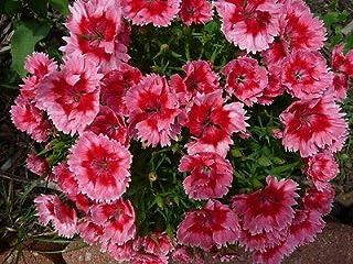 90 Seeds Fresh Super Parfait Strawberry Dianthus Flower Seeds Rare