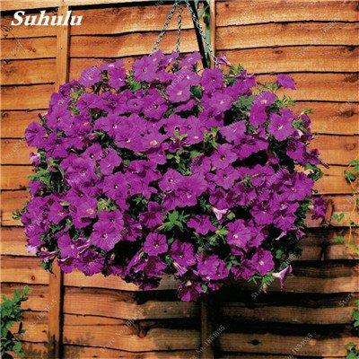 50 Pcs Pétunia Graines de fleurs pétunias Jardin Bonsai Balcon Petunia hybrida Flower Seed Plantes décoratives pour jardin 13