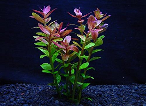 イイ水草市場 ロタラインジカ (5本) ◆人気の赤 小さな赤葉が美しい 丈夫◆