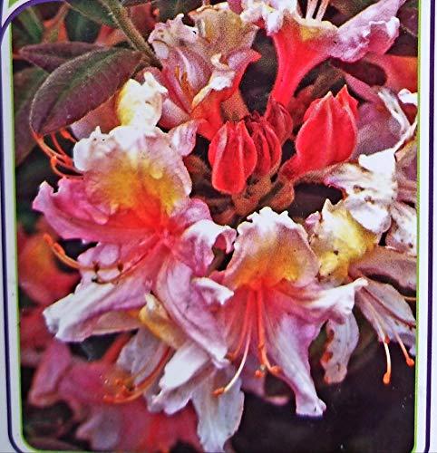AZALEA MOLLIS BICOLORE XXL, AZALEA DA ESTERNO, vaso 26cm, pianta vera