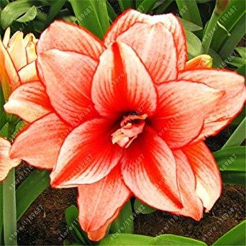 GEOPONICS 18: Echte Amaryllis Zwiebeln, Hippeastrum Zwiebeln Bonsai nzwiebeln Amarilis Rizomas seedos Barbados Lily Topfgartenpflanze - 1 Glhbirne 18 nur samen