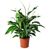 American Plant Exchange Spathiphyllum Peace Lily Live Plant, 6' Pot,...