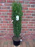 4 x Säulen Ilex, Höhe: 90-100 cm, Ilex Fastigiata, ähnlich BUCHSBAUM + Dünger