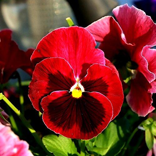Grande pensée de jardin fleurie - rouge avec point noir - graines
