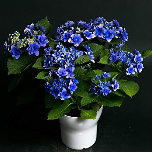母の日 ギフト 店長こだわり珍しい逸品!アジサイ鉢 ラッピングしてお届け 鉢花 鉢植え フラワーギフト アジサイ ハイドランジア 早い者勝ち!いろいろな珍しい種類が選べます! (卑弥呼, パープル)