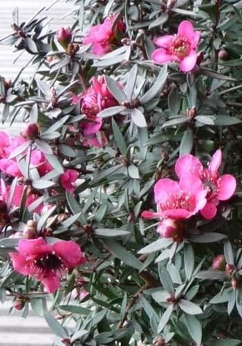 TROPICA - Südseemyrte - Pink (Leptospermum scoparium) - 200 Samen