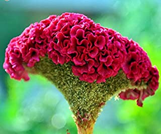 Mr.seeds A Package 200 Pieces Red Cockscomb Seeds Bonsai Flower Seeds Celosia cristata Potted Plants for DIY Home & Garden