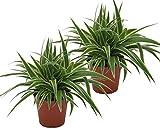 Grünlilie, (Chlorophytum comosum), luftreinigende Zimmer und Büropflanze, (2 Pflanzen je im 12cm Topf, Sorte: Ocean)