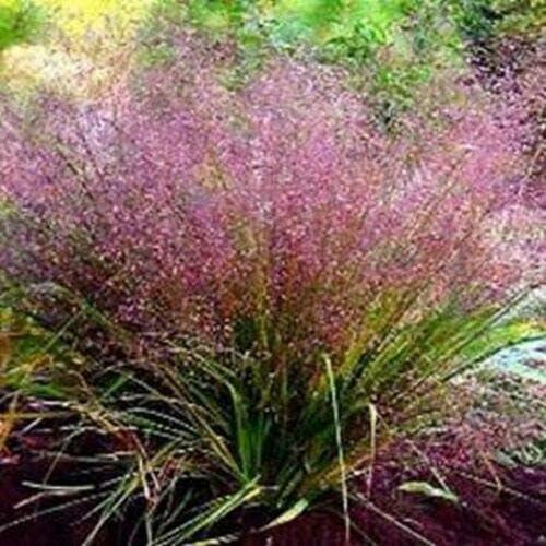 Love Grass - Purple Eragrostis Seeds Spectabilis All stores are sold jocad Max 59% OFF 175