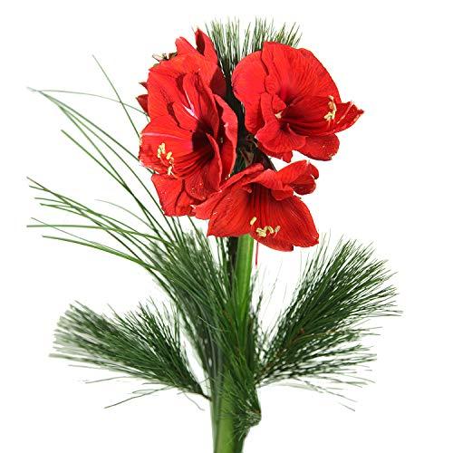 Echte rote Amaryllis - Echte Amaryllis: Rot - Großblütig - Dekoriert mit Kiefer und Ziergras