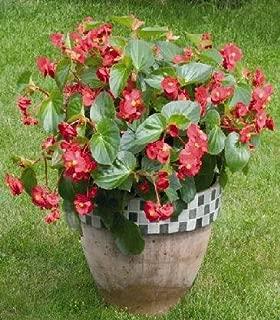 Begonia - Special Hybrids Big PL Red-Green Leaf 1,000 seeds