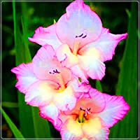 環境を美しくする,美しい切り花,中庭の装飾,グラジオラス球根-30 球根,1