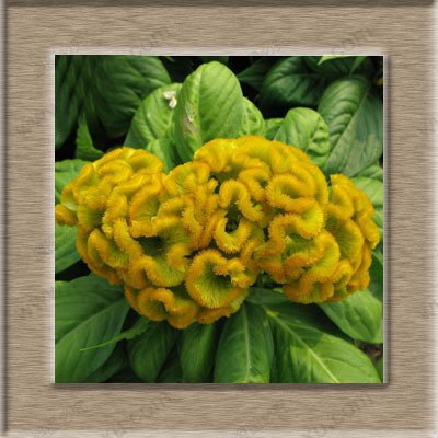 Hahnenkamm Blume Pflanze Bonsai Hahnenkamm Samen Celosia Cristata 500 Samen / 1 Profi-Pack
