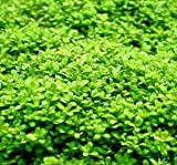 *WFW wasserflora Kuba Zwerg-Perlenkraut/Hemianthus callitrichoides Cuba - Zwerg-Perlkraut HCC