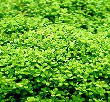 WFW wasserflora Kuba Zwerg-Perlenkraut/Hemianthus callitrichoides Cuba - Zwerg-Perlkraut HCC