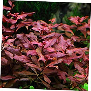 Aquarium Plants Ludwigia sp. Mini 'Super Red' Bunch Live Aquarium Plants Repens