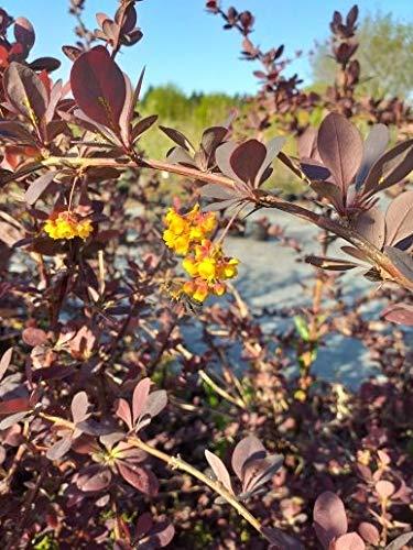 Späth Große Blutberberitze 'Superba' LH 40-60 cm im 3 Liter Topf Zierstrauch winterhart Heckenpflanze blühend