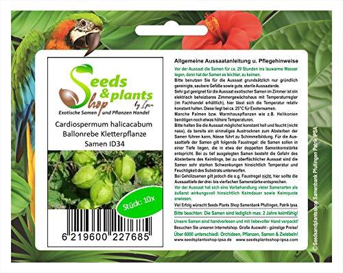 Stk - 10x Cardiospermum halicacabum Ballonrebe Kletterpflanze Samen ID34 - Seeds Plants Shop Samenbank Pfullingen Patrik Ipsa