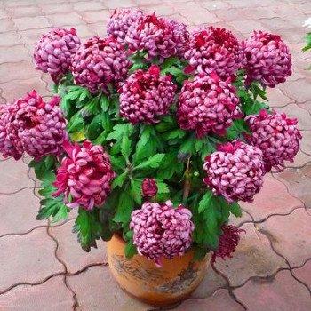 bateau libre 40 graines Graines de fleurs graines chrysanthème softcover bonsaï balcon
