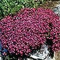 Outsidepride Aubrieta Cascade Red Seeds
