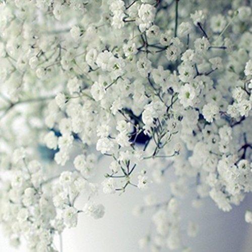 Soteer 50 Stück Schleierkraut Samen Blütenpolster romantische Blütencharme Schnittstaude Saatgut winterhart mehrjährig ideal als Kübelpflanze auf Terrasse & Balkon