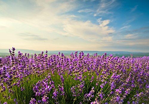 wandmotiv24 Fototapete Lavendel L 300 x 210 cm - 6 Teile Fototapeten, Wandbild, Motivtapeten, Vlies-Tapeten Feld, Meer-blick, Himmel M0411