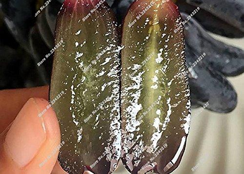 Bonsai Finger de pépins de raisin délicieux pot organique plante pour les plantes ornementales Maison et jardin Can comestible sain Fruit semences 60 Pcs 3