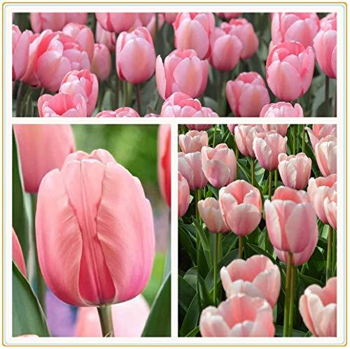 Tulpenzwiebeln,Tulpe Zwiebel Blume Zwiebel Garten Landschaft Blume Seltener Dunst rosa Blume Geheimnisvolle exotische mehrjährige Frühlingsblume-5zwiebeln