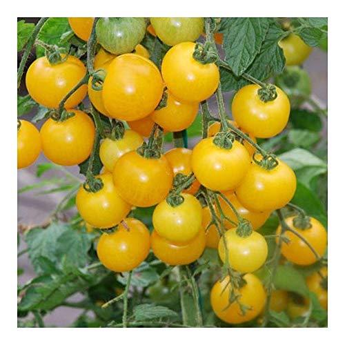 Tomate Window box yellow - Tomate cerise jaune - 10 graines