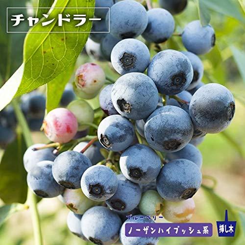 ブルーベリー 苗 チャンドラー ノーザンハイブッシュ系2年生苗 ブルーベリー苗 blueberry