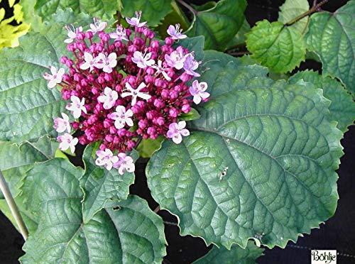 Clerodendrum bungei - Losbaum-Ruhmesblume