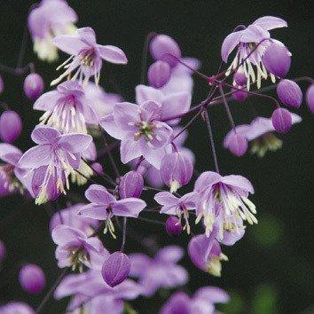 Plant World Seeds - Thalictrum Delavayi Seeds
