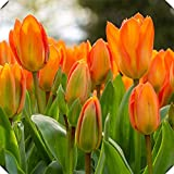 Tulipanes bulbos-Planta orgánica fragante Crecimiento fuerte Large Bonsai Greenleaf-naranja,5Bulbs
