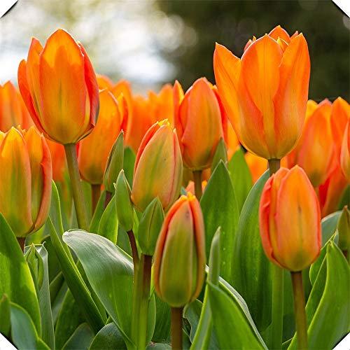 Tulipanes bulbos-Planta orgánica fragante Crecimiento fuerte Large Bonsai Greenleaf-naranja,5Bulbs